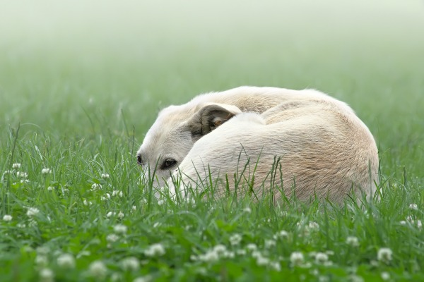 bigstock-Lonely-White-Dog-In-A-Fog-1174397